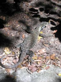 Lizzard in Daintree